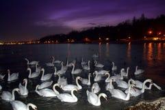 Witte zwanen bij nachtkust stock foto