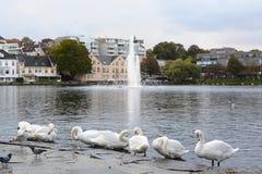 Witte zwanen dichtbij Breiavatnet-meer Stavanger Rogalandprovincie noorwegen stock afbeelding
