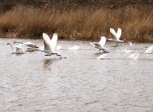 Witte zwanen die over het water vliegen Royalty-vrije Stock Afbeeldingen