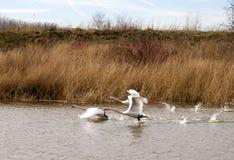 Witte zwanen die over het water vliegen Stock Afbeeldingen