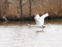 Witte zwanen die over het water vliegen Stock Afbeelding
