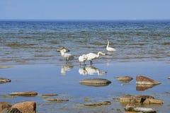 Witte zwanen die zich op het zandeiland bevinden Royalty-vrije Stock Foto