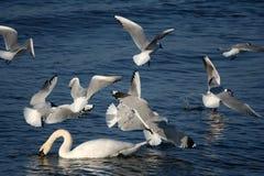 Witte zwanen en vliegende zeemeeuwen stock afbeelding