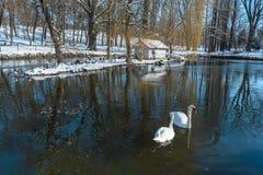 Witte zwanen op het meer Stock Foto's