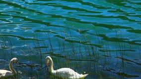 Witte zwanen op het water stock video