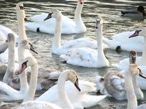 Witte zwanen op het water Stock Foto