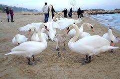 Witte zwanen op strand royalty-vrije stock afbeelding
