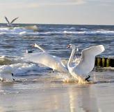 Witte zwanen op zee Royalty-vrije Stock Afbeeldingen