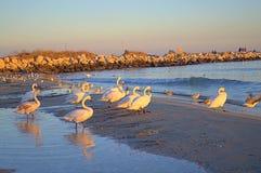 Witte zwanenpromenade op strand stock afbeeldingen