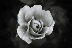 Witte zwart-wit nam op donkere achtergrond toe Royalty-vrije Stock Fotografie