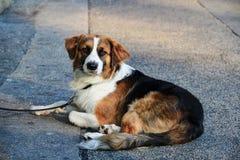 Witte zwarte bruine hond op lood met plechtig gezicht die op straat liggen royalty-vrije stock afbeeldingen