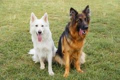 Witte Zwitser en Duitse herders Royalty-vrije Stock Foto