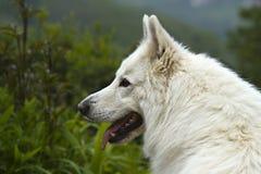 Witte Zwitserse herder Royalty-vrije Stock Foto