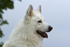 Witte Zwitserse herder Stock Afbeelding