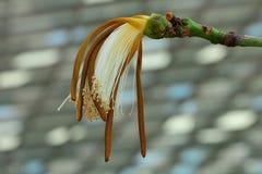 Witting weiße Blume, das wie eine Bürste aussehen Lizenzfreie Stockbilder