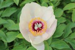 Wittmann`s Peony flower - Paeonia Wittmanniana Stock Image