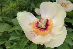 Wittmann`s Peony flower - Paeonia Wittmanniana Stock Images