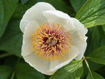Wittmanniana di Paeonia, peonia del fiore bianco del primo piano Fotografia Stock