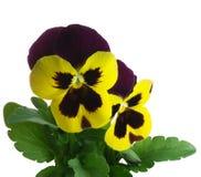wittrockiana x альта весеннего времени pansy лиловое Стоковые Изображения RF