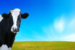Witty Cow, Dairy Cow With Prairie As Background Stock Photos