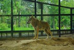 Witty wolf. Eastphoto, tukuchina,  Witty wolf, Animal capture Stock Photos