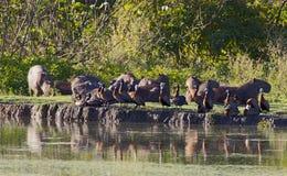Witwangfluiteend, Stawiająca czoło kaczka, Dendrocygna viduat zdjęcie royalty free