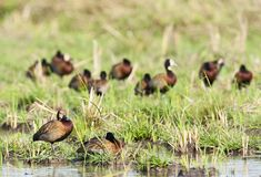 Witwangfluiteend, White-faced Whistling-Duck, Dendrocygna viduata stock photos