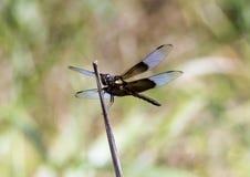 Witwen-Abstreicheisen-Libelle, die auf einem Zweig stillsteht Stockfoto