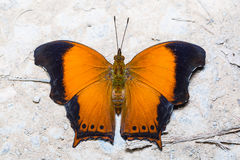 The Wizard butterfly Royalty Free Stock Photos