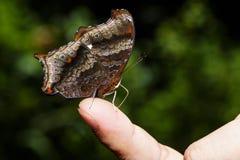 Wizard butterfly (Rhinopalpa polynice) Sucking food Royalty Free Stock Photography