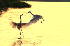 Wizard Dance. Two egrets feeding in the sunset of play Royalty Free Stock Image