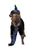 Wizard dog Stock Photography