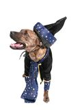 Wizard dog Stock Image