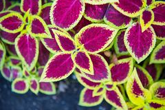 Wizard Scarlet Coleus. ` attractive serrated pointy leaves remain scarlet in color with distinctive lemon yellow edges throughout the year. Neither the flowers royalty free stock photo