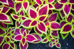 Wizard Scarlet Coleus. ` attractive serrated pointy leaves remain scarlet in color with distinctive lemon yellow edges throughout the year. Neither the flowers stock images
