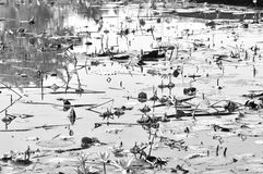 Wizen lotus pond Royalty Free Stock Photography