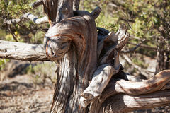 Wizened old tree trunk Stock Photos