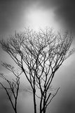 Wizened trees. A photo taken on some wizened tree against a gloomy shady sky backdrop Stock Photo