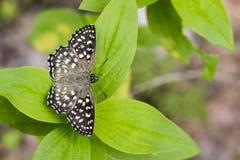 Wizerunek Łaciasty kąta motyl Fotografia Stock