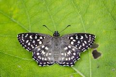 Wizerunek Łaciasty kąta motyl Obrazy Royalty Free