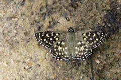 Wizerunek Łaciasty kąta motyl Zdjęcie Stock