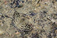 Wizerunek Łaciasty kąta motyl Obraz Royalty Free