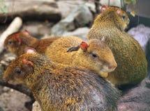 Wizerunek Środkowo-amerykański aguti przy zoo Obraz Royalty Free