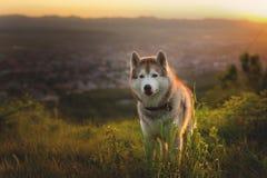 Wizerunek bezpłatna beżu, białych Syberyjskiego husky psa pozycja na wzgórzu przy zmierzchem na i obraz stock
