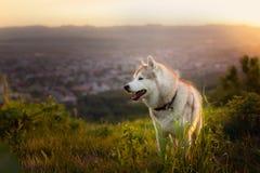 Wizerunek bezpłatna beżu, białych Syberyjskiego husky psa pozycja na wzgórzu przy zmierzchem na i obrazy stock