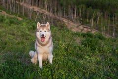 Wizerunek bezpłatny beżu i białego Syberyjskiego husky psa obsiadanie na wzgórzu w lesie przy zmierzchem na halnym tle zdjęcie royalty free