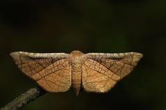 Wizerunek Brown ćma Motyli Lasiocampidae Fotografia Royalty Free