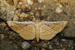 Wizerunek Brown ćma Motyli Lasiocampidae Obraz Royalty Free