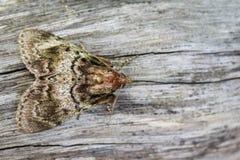 Wizerunek Brown ćma Nannoarctia tripartita na drzewie insekt Obrazy Stock