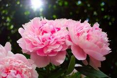Wizerunek bukiet świeże różowe peonie Fotografia Royalty Free